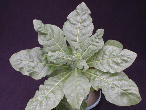 Thumbnail image for Tobacco - Zinc (Zn) Deficiency